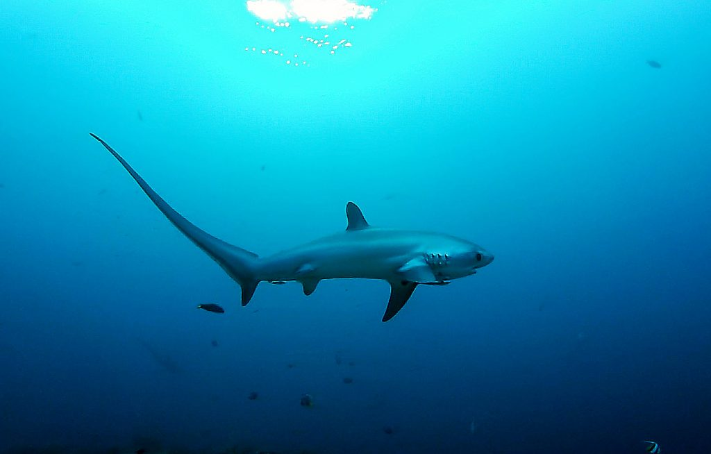 Thresher shark Mapalascua